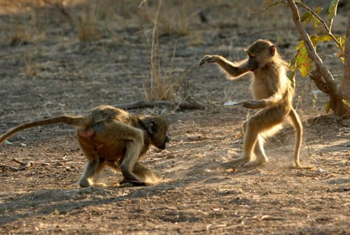 monkey_kung_fu_south_luangwa_national_park_zambia_africa_imagelarge1 - Monkey Kung Fu - Sports and Fitness